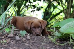 Chocolate colored puppy resting in garden. A cute chocolate colored puppy lays down in the shade for a nap stock photography