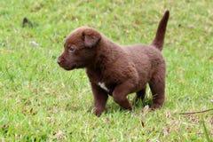 Labrador Retriever Mix Puppy Royalty Free Stock Photography