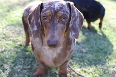 Cute chocolate dapple dachshund staring royalty free stock photo