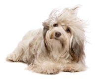 Cute chocolate Havanese dog in wind. A cute chocolate havanese puppy dog lying in wind isolated on white background Stock Image