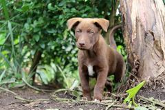 Chocolate Lab puppy in garden. A cute chocolate lab puppy exploring in a garden stands and looks forward intently stock image
