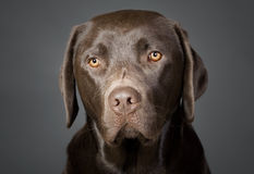 Cute Chocolate Labrador Puppy Royalty Free Stock Images