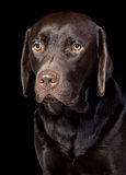 Cute Chocolate Labrador Retriever royalty free stock photo