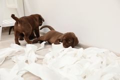 Cute chocolate Labrador Retriever puppies and torn paper. On floor indoors royalty free stock photography