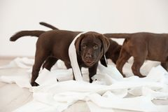 Cute chocolate Labrador Retriever puppies with torn paper. Indoors stock image