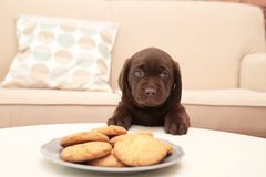Chocolate Labrador Retriever puppy near plate with cookies indoors stock images