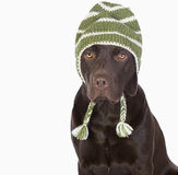 Cute Chocolate Labrador in Winter Hat Royalty Free Stock Images