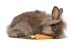 Cute chocolate lionhead bunny rabbit is eating a carrot. A cute chocolate colored mini lionhead bunny rabbit is eating a carrot, isolated on white background stock photo