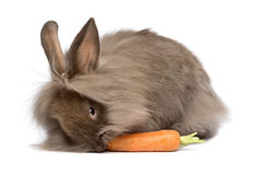 Cute chocolate lionhead bunny rabbit is eating a carrot Royalty Free Stock Photography