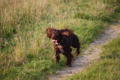 A cute Chocolate working type cocker spaniel puppy dog pet running Royalty Free Stock Images