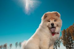 Cute chow chow sticking out its blue tongue stock photography