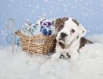 Cute Chrismas Bulldog Royalty Free Stock Image