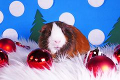 Cute christmas animals. Xmas pet animal guinea pig lop rabbit. Cute christmas animals. Xmas pet animal stock photos