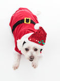 Cute Christmas dog. An adorable Christmas pooch wearing a red santa suit.  White Background Royalty Free Stock Images