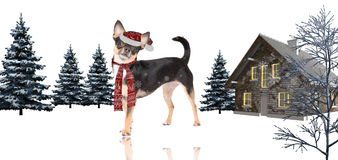 Cute christmas dog chihuahua white background Stock Images