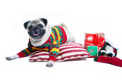 Cute Christmas dog. Funny, cute and playful pug dog pet wearing warm wollen knitted sweater, lying on the cushion, Christmas presents round it, smiling with Stock Photos