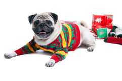 Cute Christmas dog. Funny, cute and playful pug dog pet wearing warm wollen knitted sweater, lying on the cushion, Christmas presents round it, smiling with Stock Images
