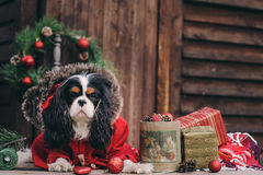 Cute Christmas dog with gifts and decorations on rustic wooden background stock images