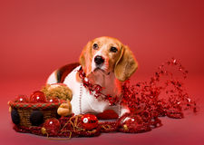 Cute christmas dog. Royalty Free Stock Photos