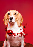 Cute christmas dog. Stock Images
