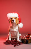 Cute christmas dog. Stock Photos