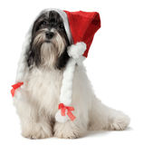Cute Christmas havanese puppy Stock Images