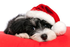 Cute Christmas havanese puppy dog. Cute Bichon Havanese puppy dog in Christmas - Santa hat is lying on a red cushion.  on a white background Royalty Free Stock Photography