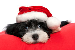 Cute Christmas havanese puppy dog Stock Photo