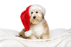 Cute Christmas Havanese puppy on a white bedspread royalty free stock image