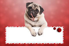 Cute christmas pug puppy dog leaning with paws on blank sign, on red background Stock Photography