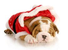 Cute christmas puppy Royalty Free Stock Photography