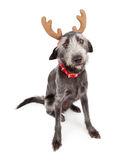 Cute Christmas Reindeer Dog Stock Image