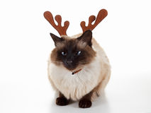 Cute Christmas reindeer pet cat. Humorous concept. Isolated on white Stock Image