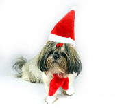 Cute christmas shih tzu Royalty Free Stock Image