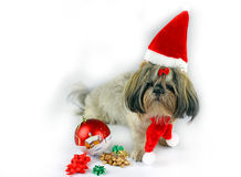 Cute christmas shih tzu Royalty Free Stock Image