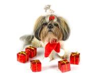 Cute christmas shih tzu Stock Photos