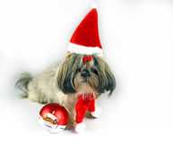 Cute christmas shih tzu Royalty Free Stock Images