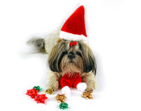 Cute christmas shih tzu Royalty Free Stock Photography