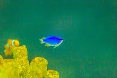 Cute Chrysiptera cyanea fish, also known as blue damselfish, blu. E demoiselle, blue devil, cornflower sergeant-major, Hedley's damselfish, red tail Australian Stock Photos