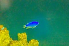 Cute Chrysiptera cyanea fish, also known as blue damselfish, blu. E demoiselle, blue devil, cornflower sergeant-major, Hedley's damselfish, red tail Australian Stock Images