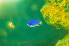 Cute Chrysiptera cyanea fish, also known as blue damselfish, blu Royalty Free Stock Images