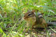 Cute Chubby Chipmunk Stock Photography