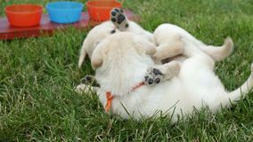 Cute chubby labrador puppy dogs wrestling in the grass