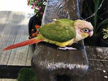 Cinnamon green-cheeked conure bird. A cute Cinnamon green-cheeked conure bird stock image