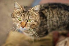 Cute classical domestic striped yard cat close up portrait. Cute classical green eye domestic striped yard cat close up portrait. Photo Stock Images