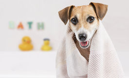 Cute clean dog royalty free stock photo