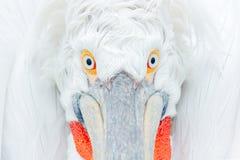 Free Cute Close-up Bird Portrait. Eye Detail Dalmatian Pelican, Pelecanus Crispus, In Lake Kerkini, Greece. Palican With Open Wing, Hun Royalty Free Stock Images - 113785239