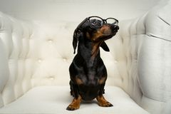 Cute close up dog dachshund breed, black and tan, with black glasses in his eyes sits full-length in a white armchair and looks up royalty free stock images
