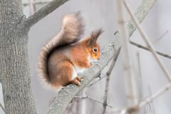 Eurasian red squirrel in a tree folding arms Stock Photo
