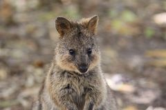 Free Cute Close Up Of Quokka Standing Up Royalty Free Stock Image - 139025146
